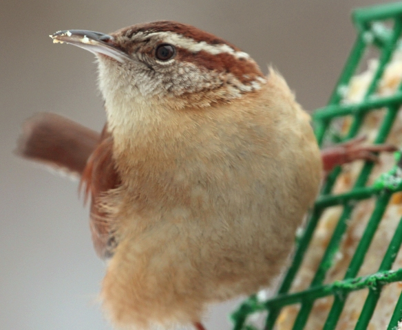 Photo by Chris Bosak A Carolina Wren grabs a bite to eat from a suet cake in New England, Feb. 2015.