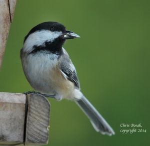 Photo by Chris Bosak Black-capped Chickadee at backyard feeder, Oct. 2014.