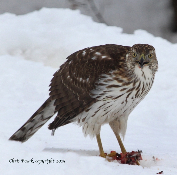 Photo by Chris Bosak A young Cooper's Hawk eats a squirrel in southern New England in Feb. 2015.