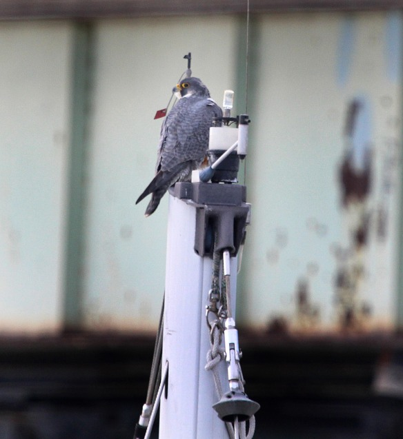 Photo by Chris Bosak A Peregrine Falcon rests on the top of a sailboat mast during a frigid day in Feb. 2015.