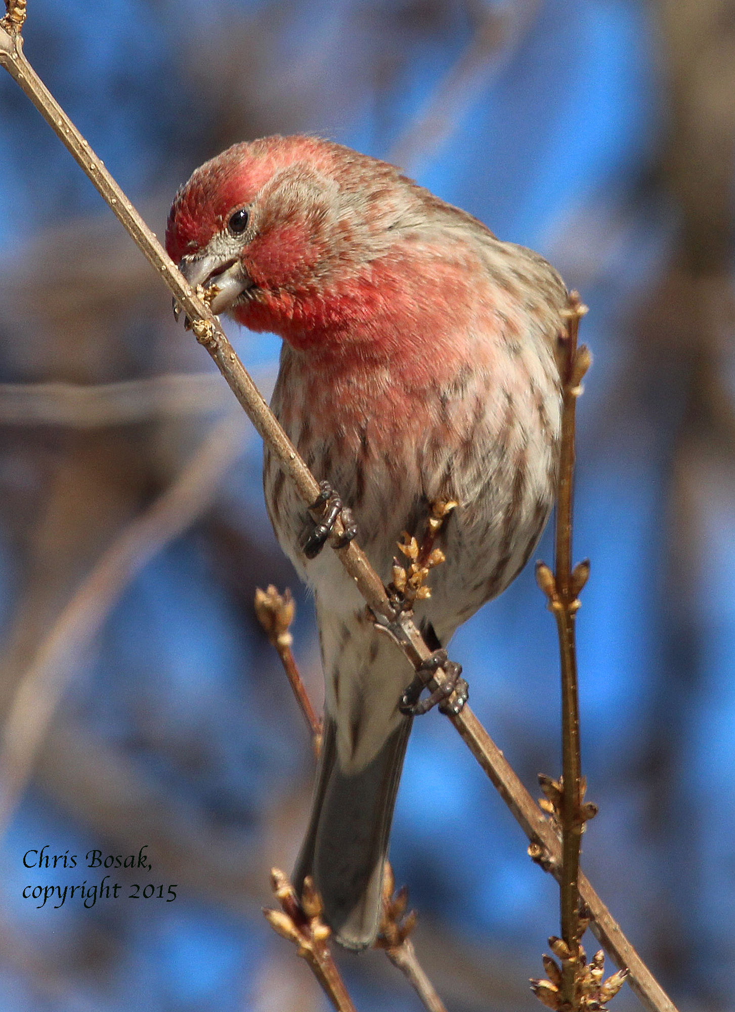 Welcome to Birds of New England | New England wildlife ...