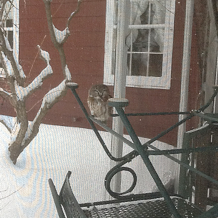 Jim Huntley from Keene, N.H., had this Saw Whet Owl pay a visit to his back porch in Feb. 2015.