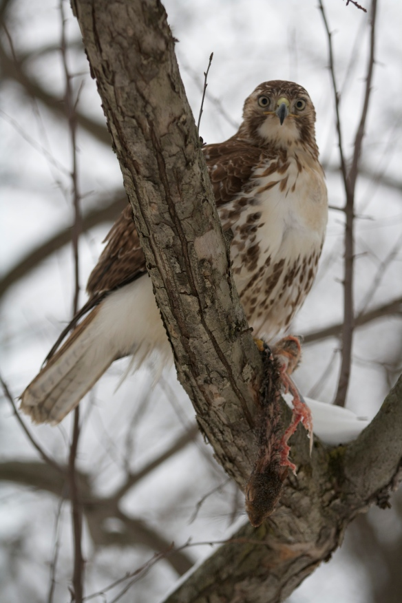Riley Rising of Connecticut got this shot of a Red-tailed Hawk eating a squirrel in Feb. 2015.