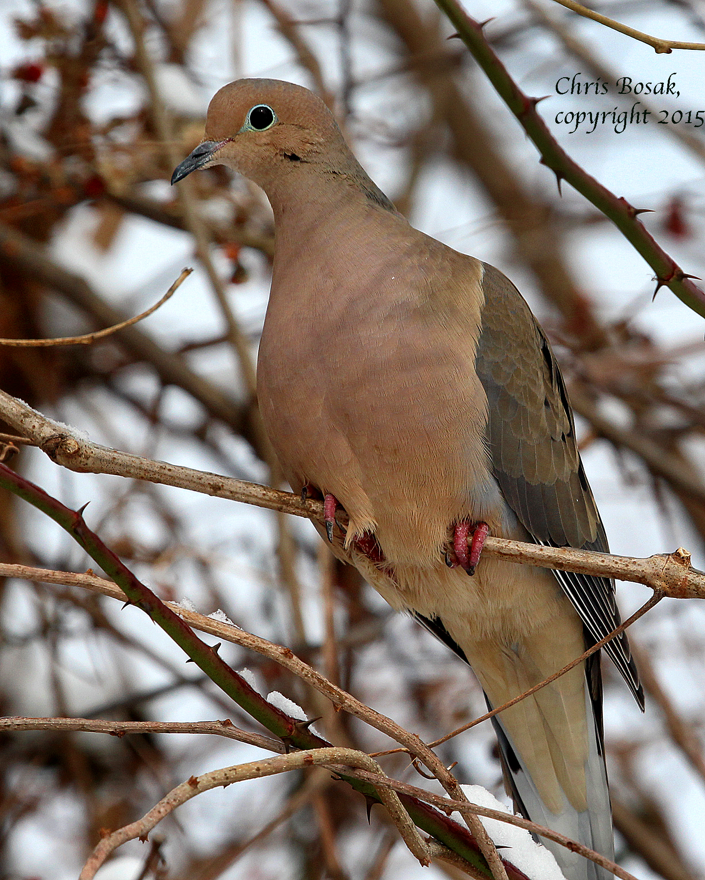 Photo by Chris Bosak A Mouning Dove perches in a tree after a New England snowfall in February 2015.