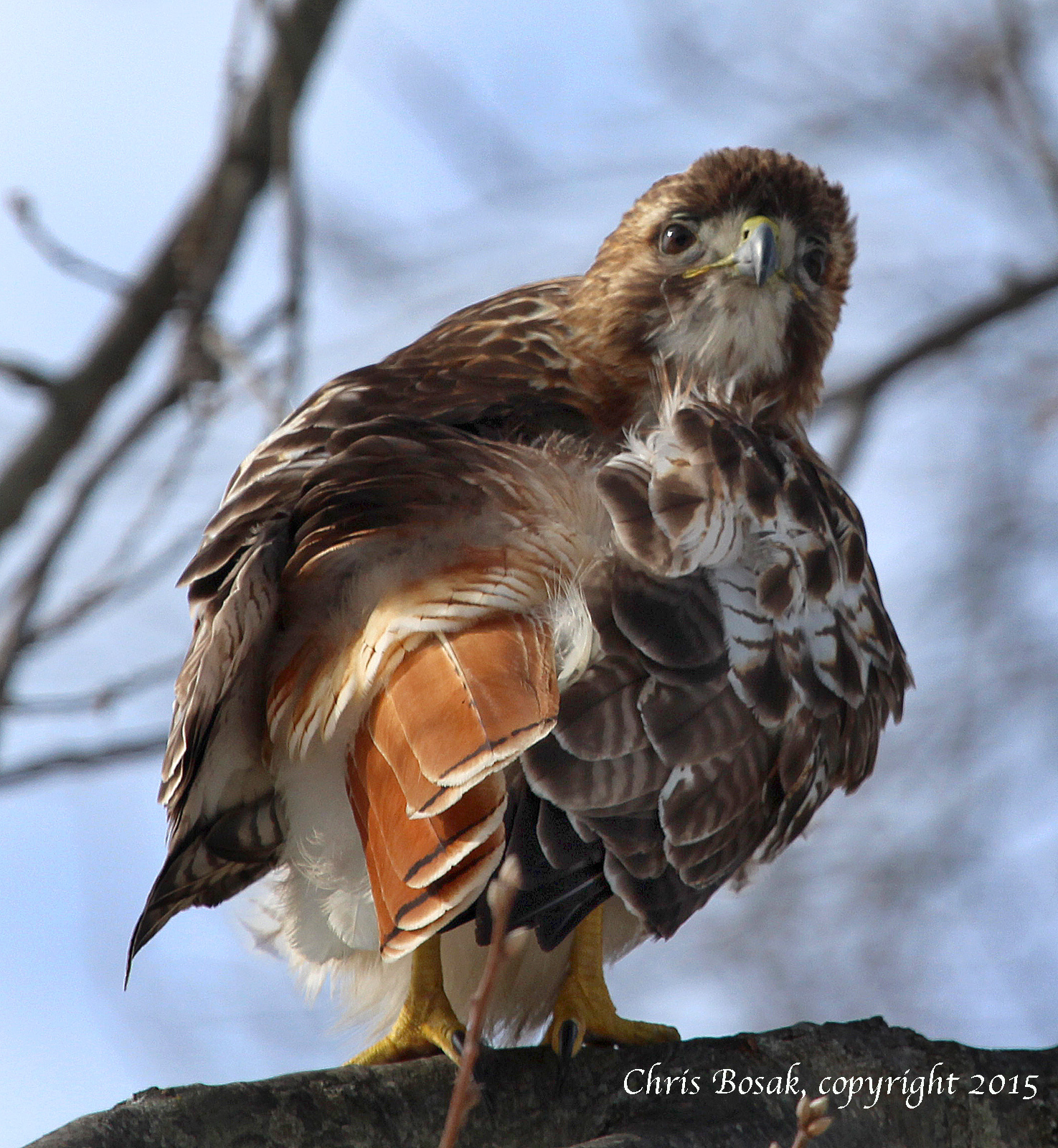 Photo by Chris Bosak A Red-tailed hawk at Weed Beach in Darien, Conn., January 2015.