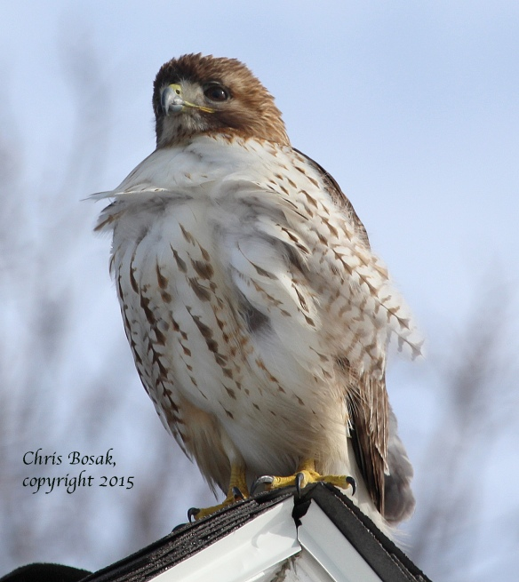 Photo by Chris Bosak A Red-tailed Hawk at Weed Beach in Darien, Conn., Jan. 2015.