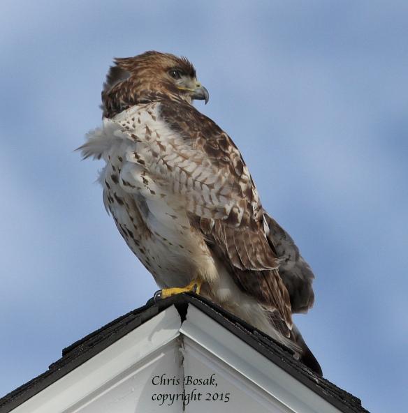 Photo by Chris Bosak A Red-tailed Hawk at Weed Beach in Darien, Conn., Jan. 2015.