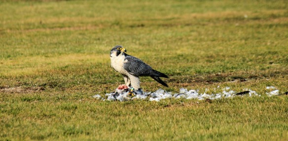 Brian Thoele of Norwalk got this shot of a Peregrine Falcon enjoying a meal at Veterans Park in East Norwalk in Dec. 2013.