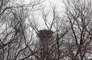 https://birdsofnewengland.files.wordpress.com/2015/03/032615eagle.jpg