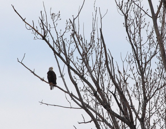 Photo by Chris Bosak A Bald Eagle preches in a tree on Chimon Island off the coast of Norwalk, Conn., March 2015.