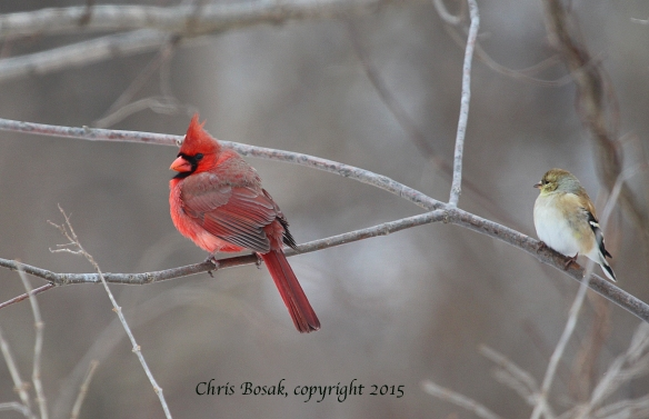 Photo by Chris Bosak A Northern Cardinal, left, and an American Goldfinch perch in a tree near a feeding station at Cove Island Wildlife Sanctuary in Stamford, Conn., in March 2015.