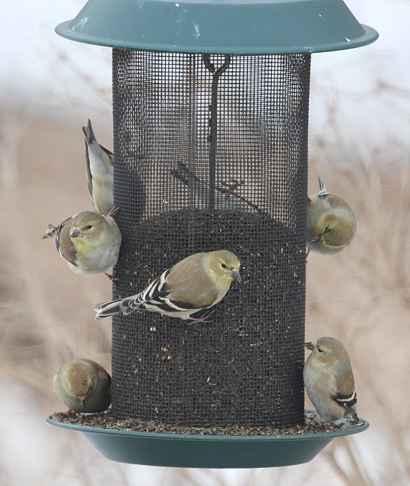 Photo by Chris Bosak American Goldfinches eat from a feeder at Cove Island Park in Stamford, March 2015.