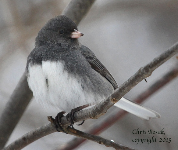 Photo by Chris Bosak A Dark-eyed Junco perches in a tree in New England in March 2015.