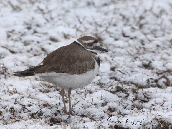 Photo by Chris Bosak A Killdeer stands in the snow at a cemetery in southern New England in late March 2015.