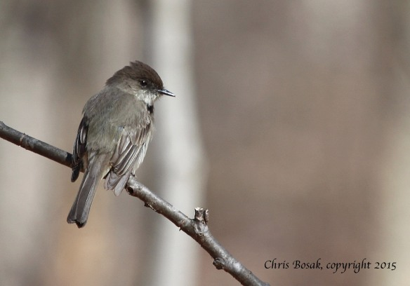 Photo by Chris Bosak An Eastern Phoebe perches on a branch in Selleck's Woods in Darien, Conn., in late March 2015.