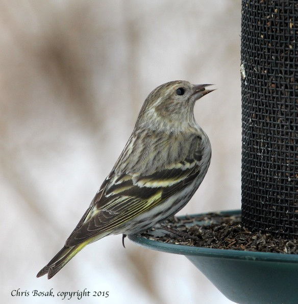 Photo by Chris Bosak A Pine Siskin eats Nyjer seeds at Cove Island Park in Stamford, March 2015.