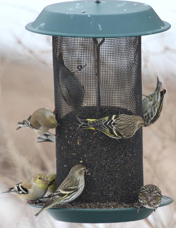 Photo by Chris Bosak Pine Siskins and American Goldfinches share a Nyjer feeder at Cove Island Park in Stamford, March 2015.