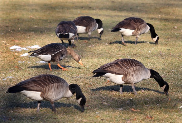 Photo by Chris Bosak A Greater White-fronted Goose is seen with a flock of Canada Geese at Cove Island Park in Stamford, Conn., March 2015.