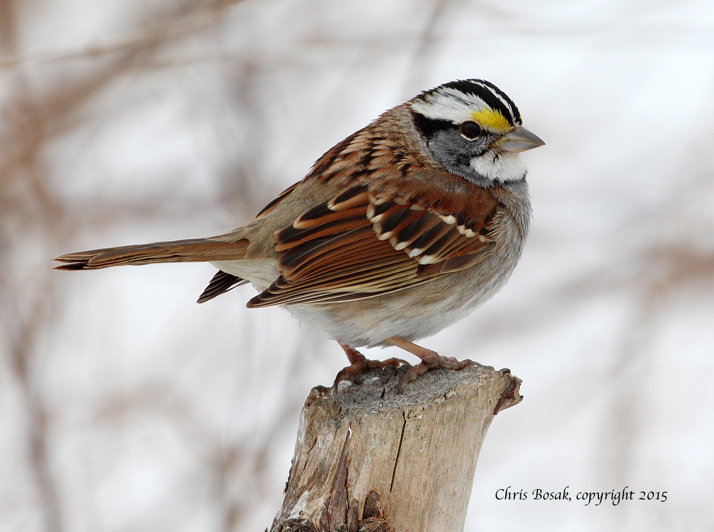 Photo by Chris Bosak A White-throated Sparrow perches on a branch in Stamford, Conn., March 2015.