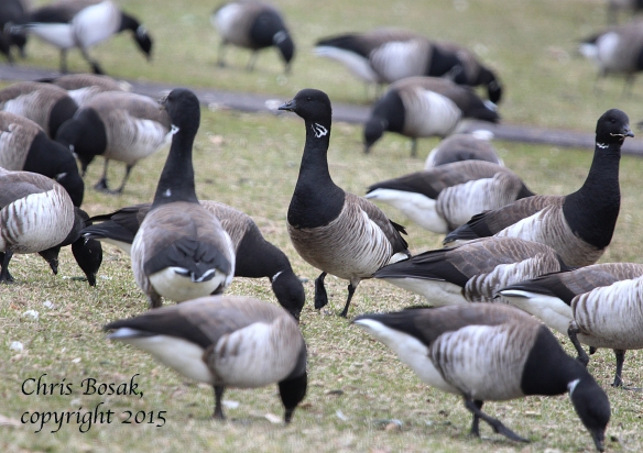 Photo by Chris Bosak A large flock of Brant at Calf Pasture Beach, April 2015.