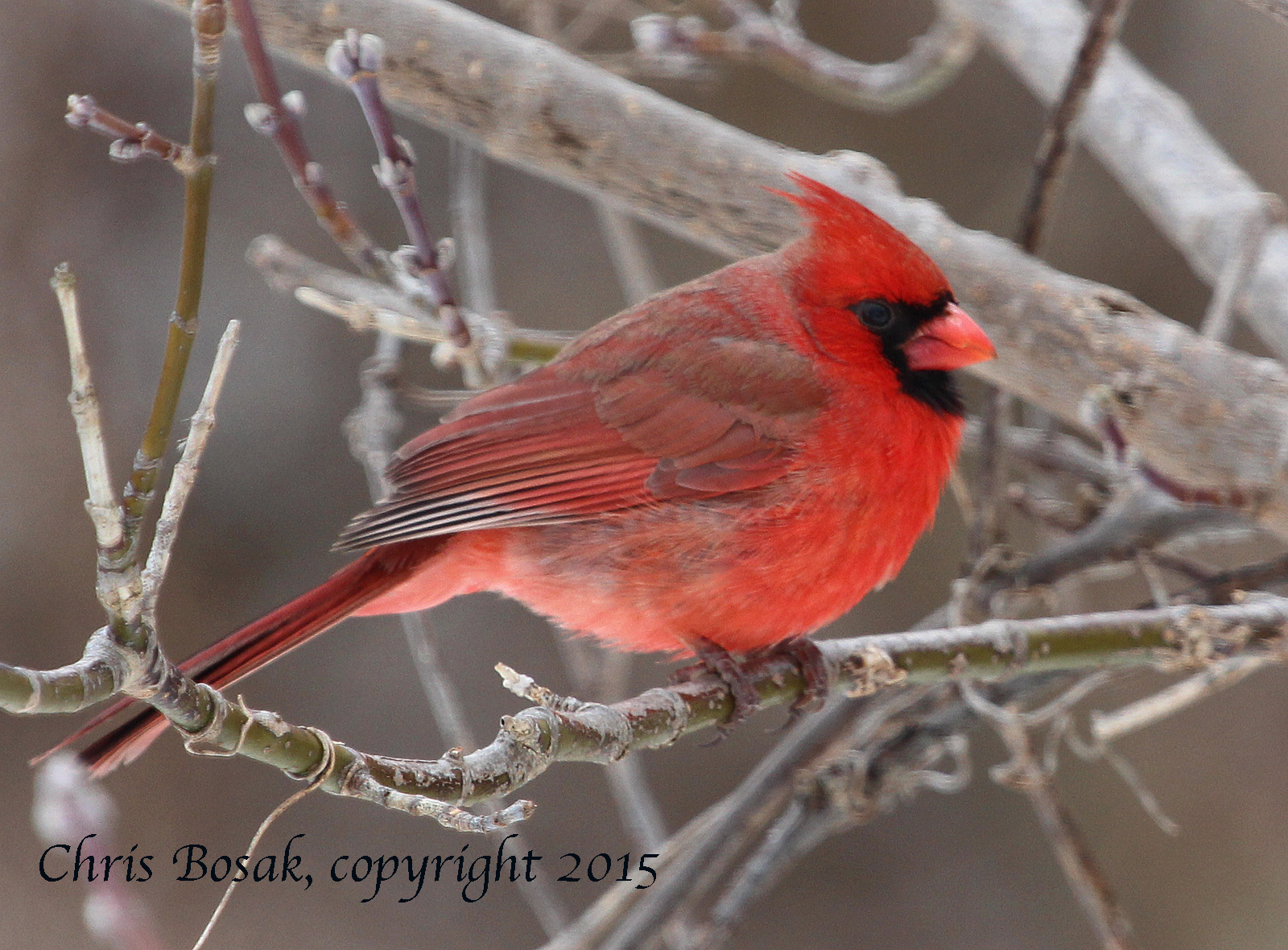 Photo by Chris Bosak A male Northern Cardinal in Stamford, Conn., March 2015.