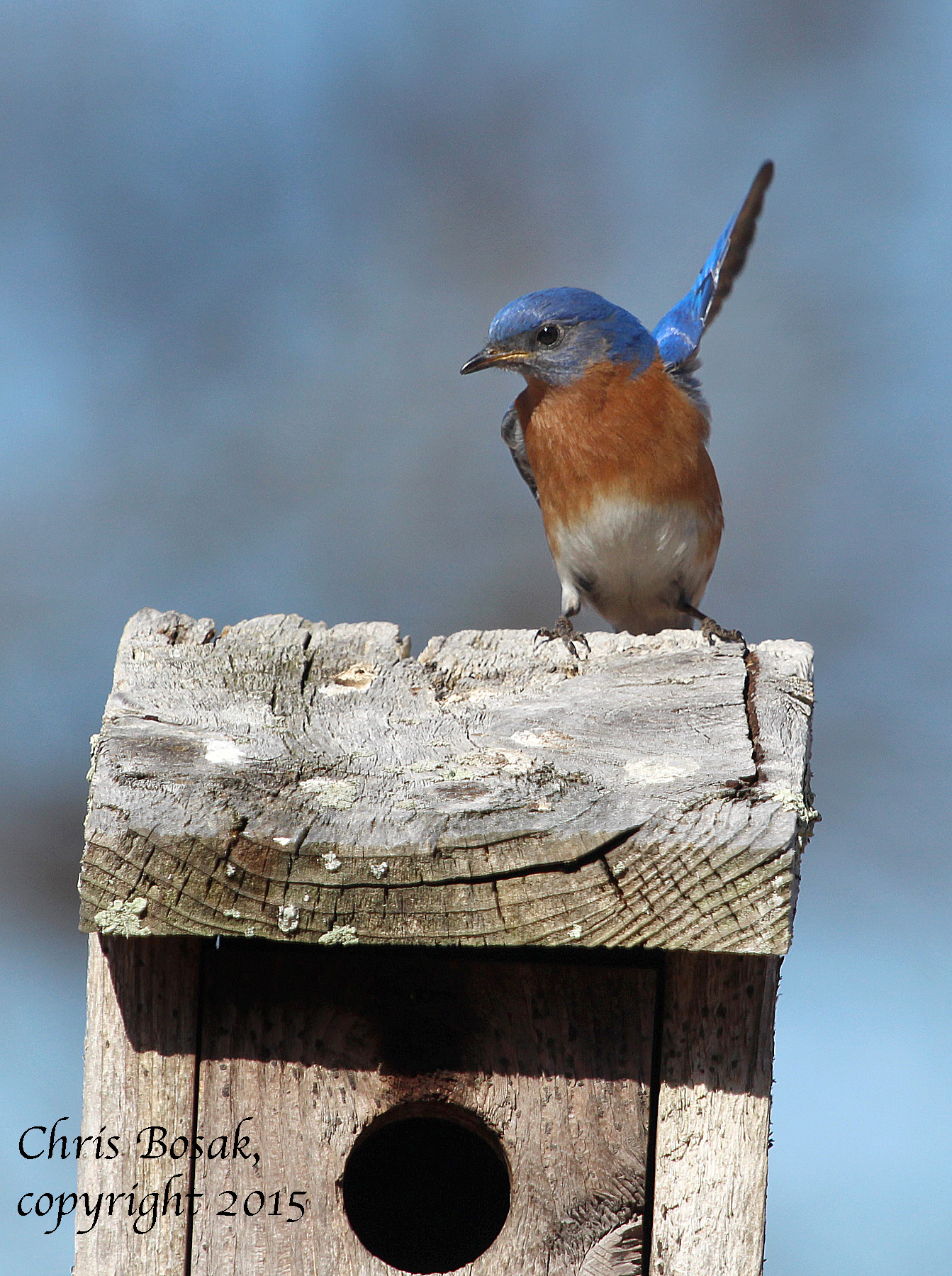 Photo by Chris Bosak An Eastern Bluebird stretches a wing as it rests on a birdhouse at Mather Meadows in Darien, Conn., April 2015.