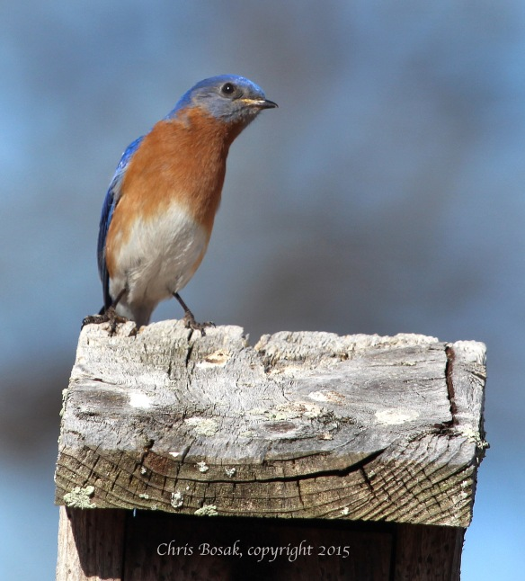 Photo by Chris Bosak An Eastern Bluebird rests on a birdhouse at Mather Meadows in Darien, Conn., April 2015.