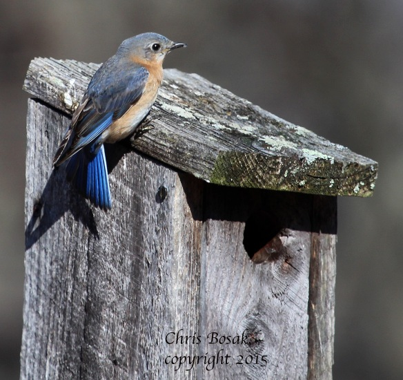 Photo by Chris Bosak A female Eastern Bluebird perches on a birdhouse at Mather Meadows in Darien, Conn., April 2015.