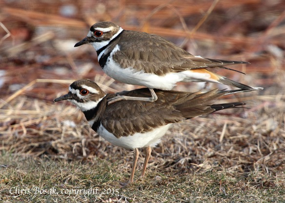 Photo by Chris Bosak A Killdeer pair copulates in Darien in early April 2015.