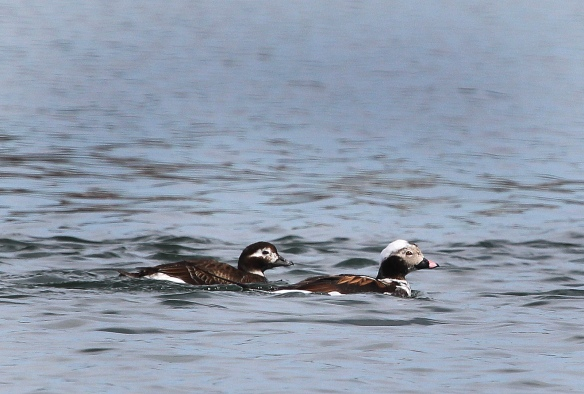 Photo by Chris Bosak A pair of Long-tailed Ducks in transition plumage swims in Long Island Sound, April 2015.
