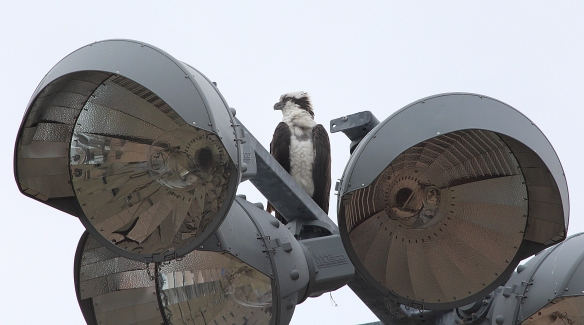 Photo by Chris Bosak An Osprey perches atop a light pole and is dwarfed by the huge lights at Calf Pasture Beach in Norwalk, Conn., in this April 20015 photo.
