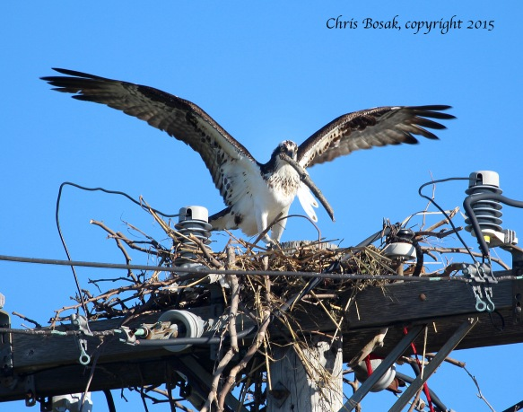 Photo by Chris Bosak An Osprey adds a stick to a new nest at Veterans Park in Norwalk, Conn., on April 29, 2015.