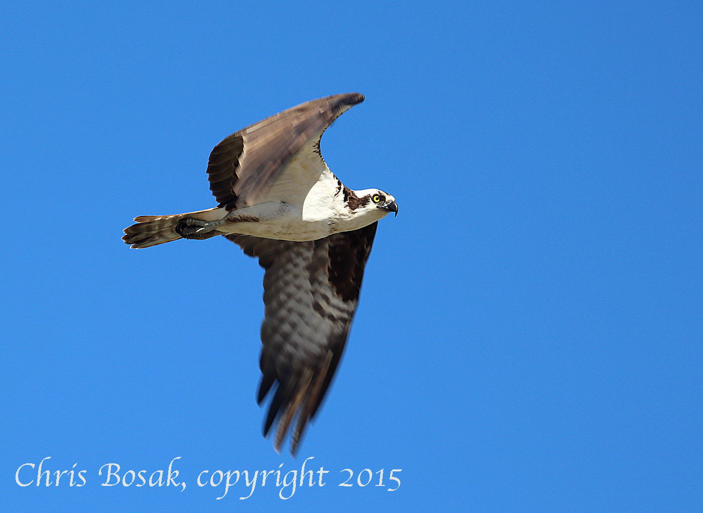 Photo by Chrisi Bosak An Osprey flies over Veterans Park in Norwalk, Conn., April 29, 2015.