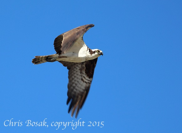 Photo by Chrisi Bosak An Osprey flies over Veterans Park in Norwalk, Conn., April 29, 2015.