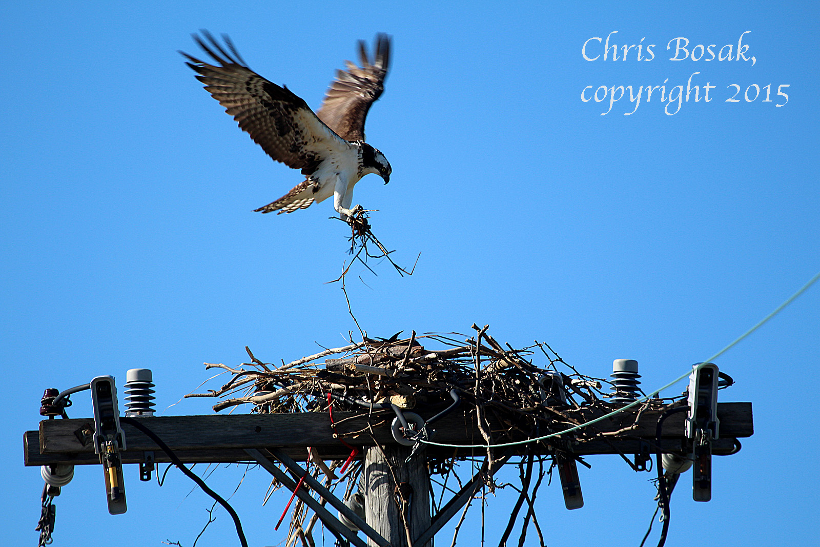 Photo by Chrisi Bosak An Osprey flies into its nest with nesting material at Veterans Park in Norwalk, Conn., April 29, 2015.