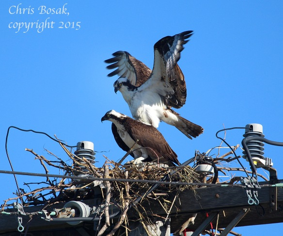 Photo by Chrisi Bosak A male Osprey flies above a female Osprey at Veterans Park in Norwalk, Conn., April 29, 2015.
