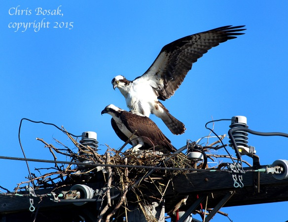 Photo by Chrisi Bosak An Osprey pair copulates at Veterans Park in Norwalk, Conn., April 29, 2015.