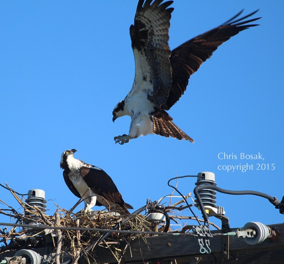 Photo by Chris Bosak A male Osprey flies into a nest occupied by its mate at Veterans Park in Norwalk, Conn., April 29, 2015.