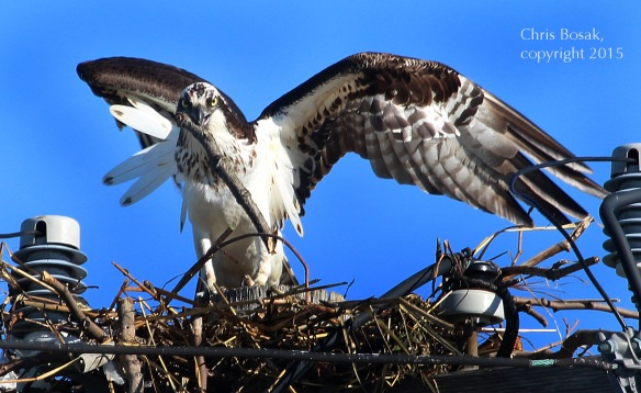 Photo by Chris Bosak An Osprey adjusts a stick in its nest at Veterans Park in Norwalk, Conn., April 29, 2015.