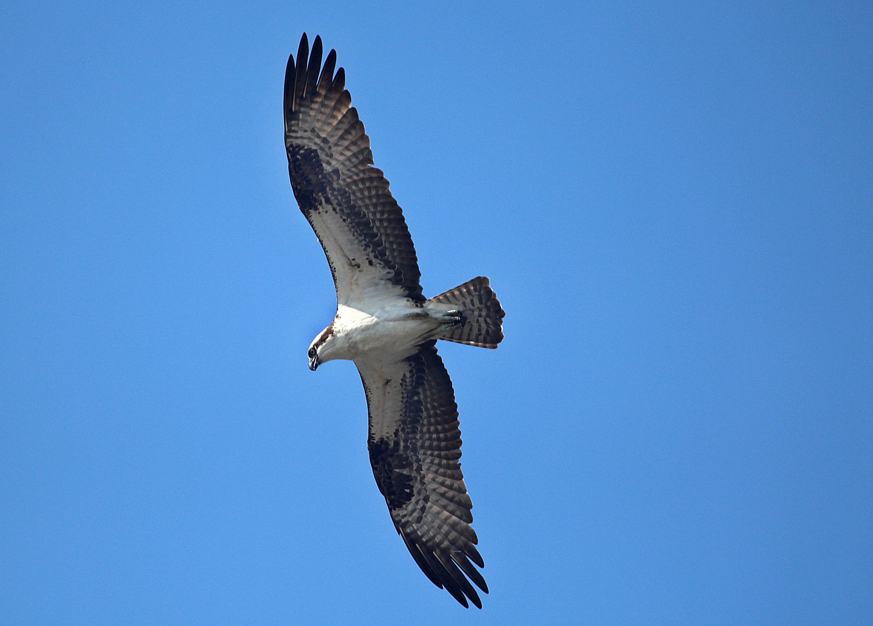 Photo by Chris Bosak An Osprey soars over the Norwalk River on Monday, Sept. 1, 2014.