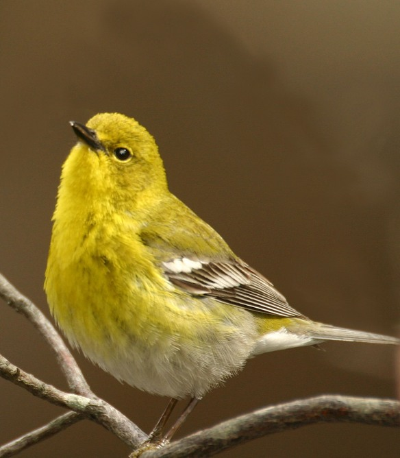 Photo by Chris Bosak Pine Warbler