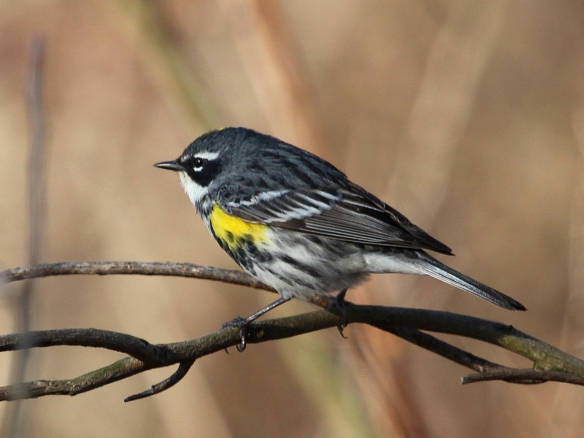 Photo by Chris Bosak Yellow-rumped Warbler at Selleck's Woods in Darien, Conn., April 2014.