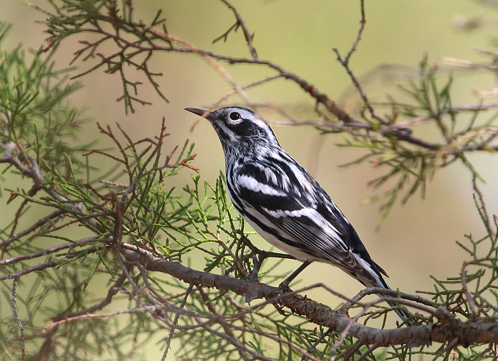 Photo by Chris Bosak A Black-and-White Warbler looks throughout an evergreen for food at Selleck's Woods in Darien, Conn., 2015.