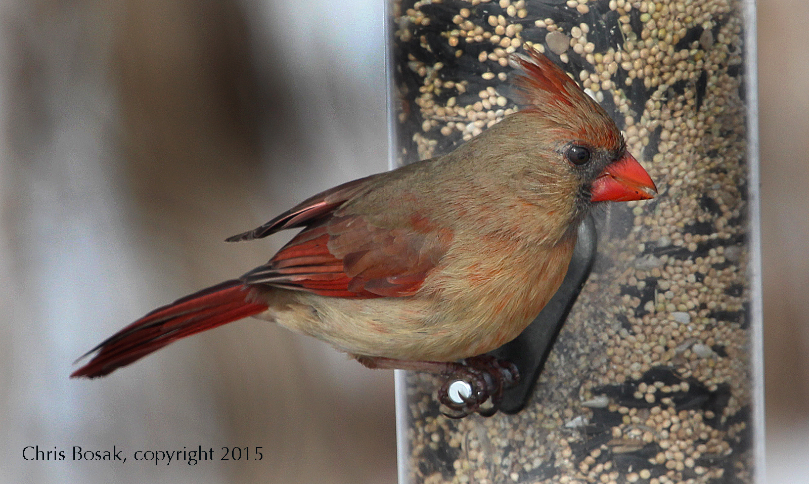 Photo by Chris Bosak A female Northern Cardinal eats from a feeder in Stamford, Conn., this spring.