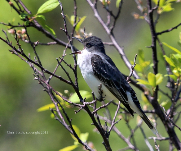 Photo by Chris Bosak An Eastern Kingbird gets ready to regurgitate a pellet in Stamford, Conn., May 2015.