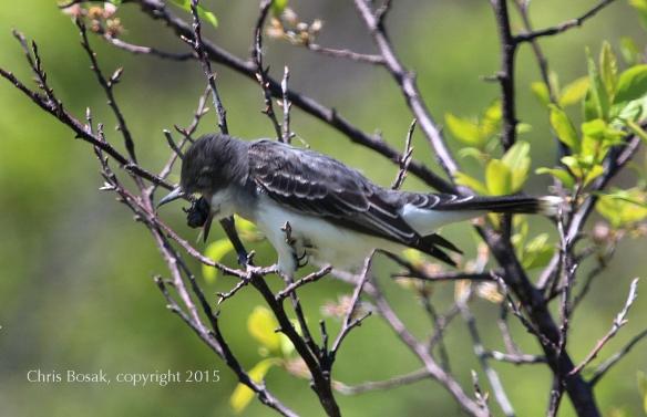 Photo by Chris Bosak An Eastern Kingbird regurgitates a pellet in Stamford, Conn., May 2015.