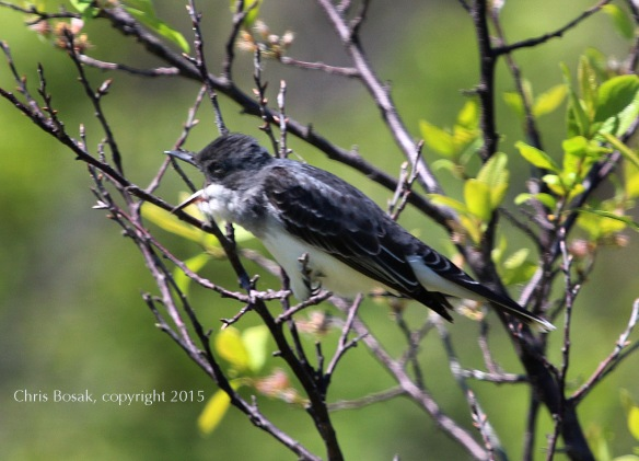 Photo by Chris Bosak An Eastern Kingbird prepares to regurgitate a pellet in Stamford, May 2015.