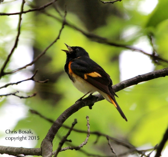 Photo by Chris Bosak An American Redstart sings from a perch in Selleck's and Dunlap Woods in Darien, Conn., May 2015.