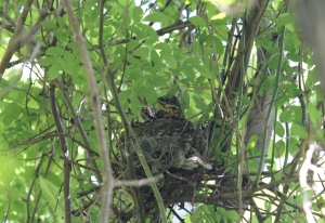 Photo by Chris Bosak An American Robin's nest with young birds in it, Stamford, Conn., May 2015.