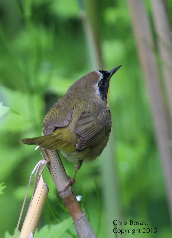 Photo by Chris Bosak A Common Yellowthroat perches on a broken stalk at Selleck's and Dunlap Woods in May 2015.